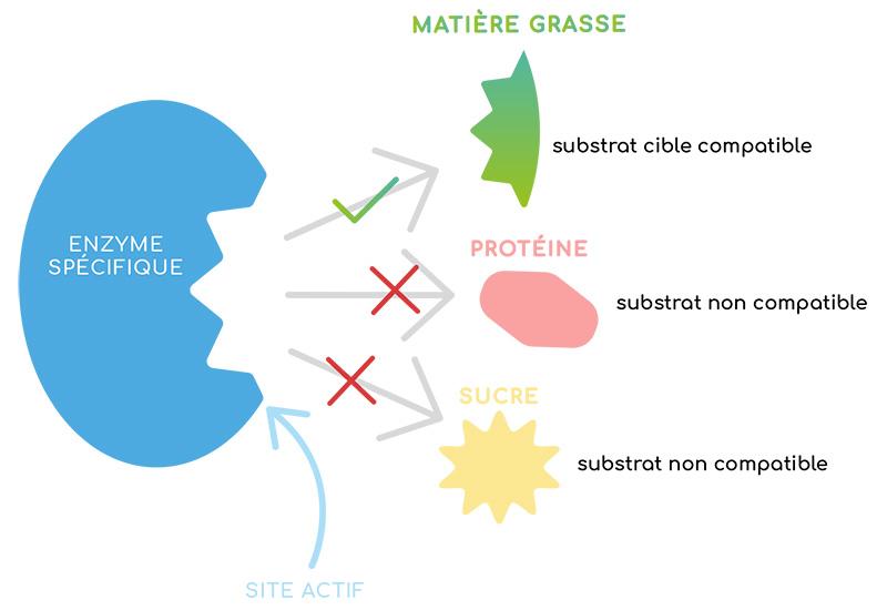 Qu'est qu'une enzyme ?